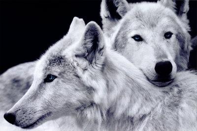 Я либо люблю, либо - нет (с) Коко Шанель. песня.  Настя Полева - Белые волки.  Была. @музыка.